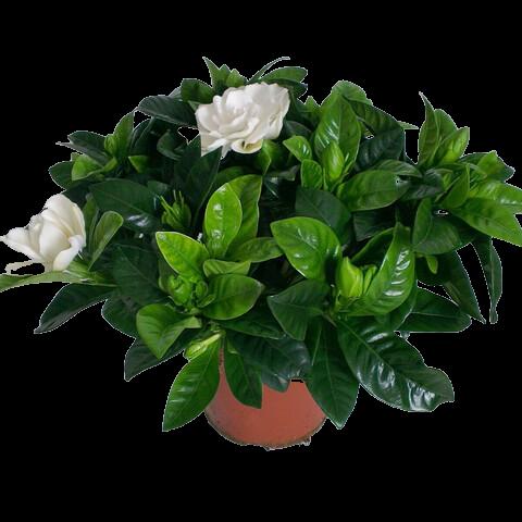 GARDENIA JASMINOIDES – Flores y Plantas jocama